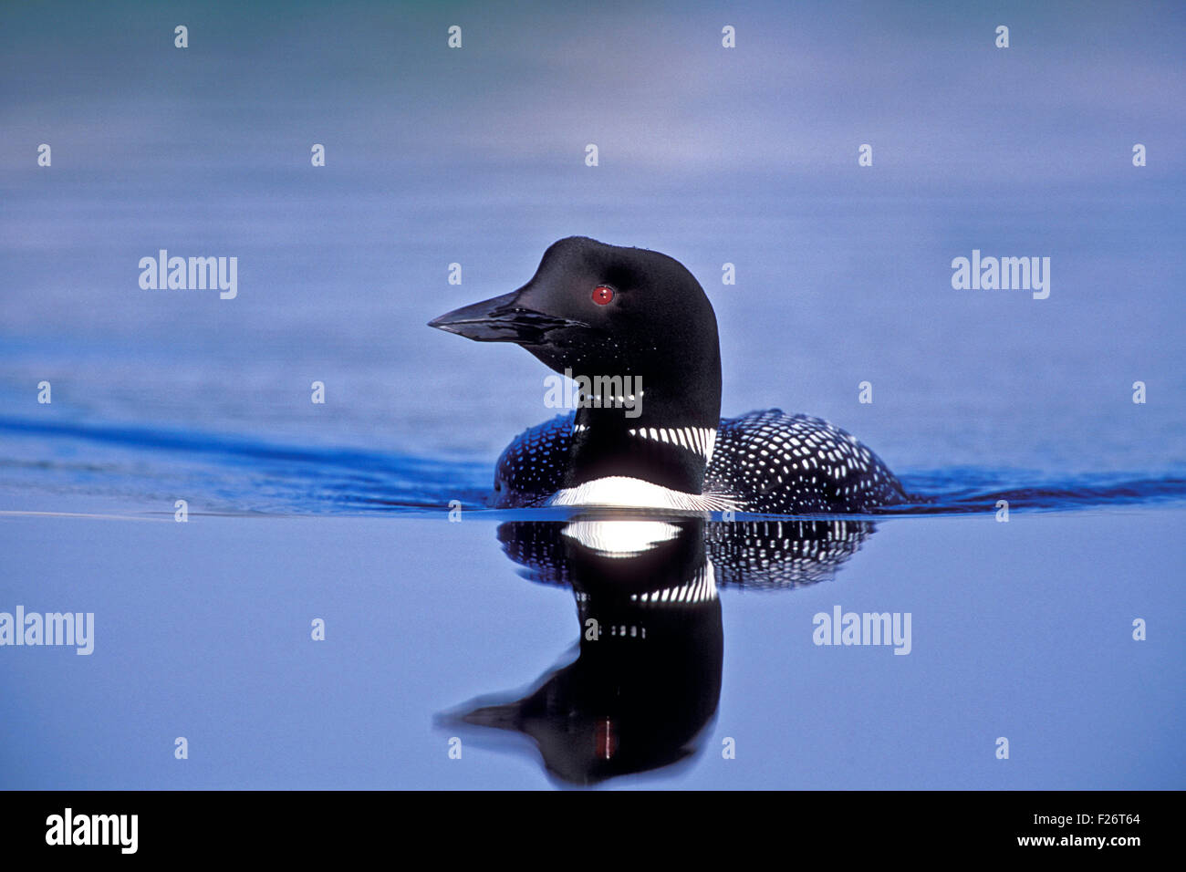 Common Loon swimming in lake. - Stock Image