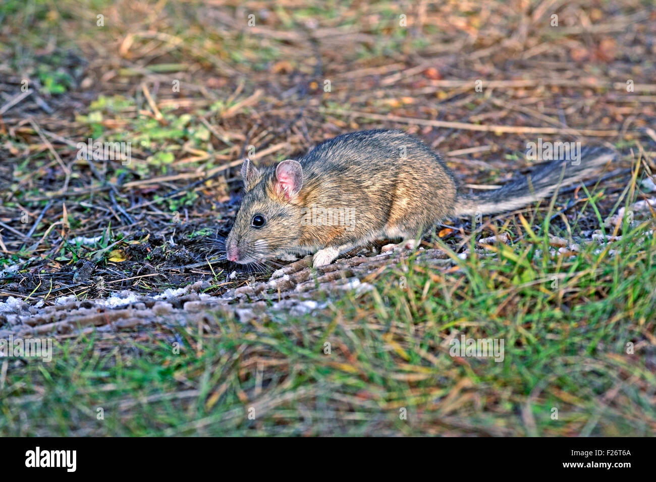 Bushy-tailed Wood rat or Pack Rat in field - Stock Image