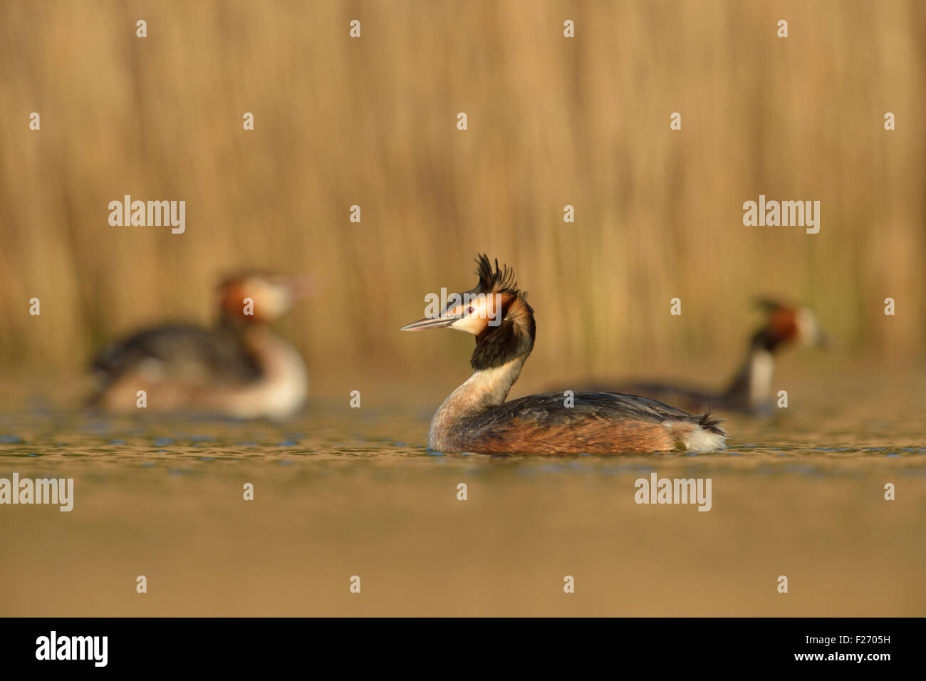 A flock of Great Crested Grebes /  Haubentaucher ( Podiceps cristatus ) swimming in golden light in front of a reed - Stock Image