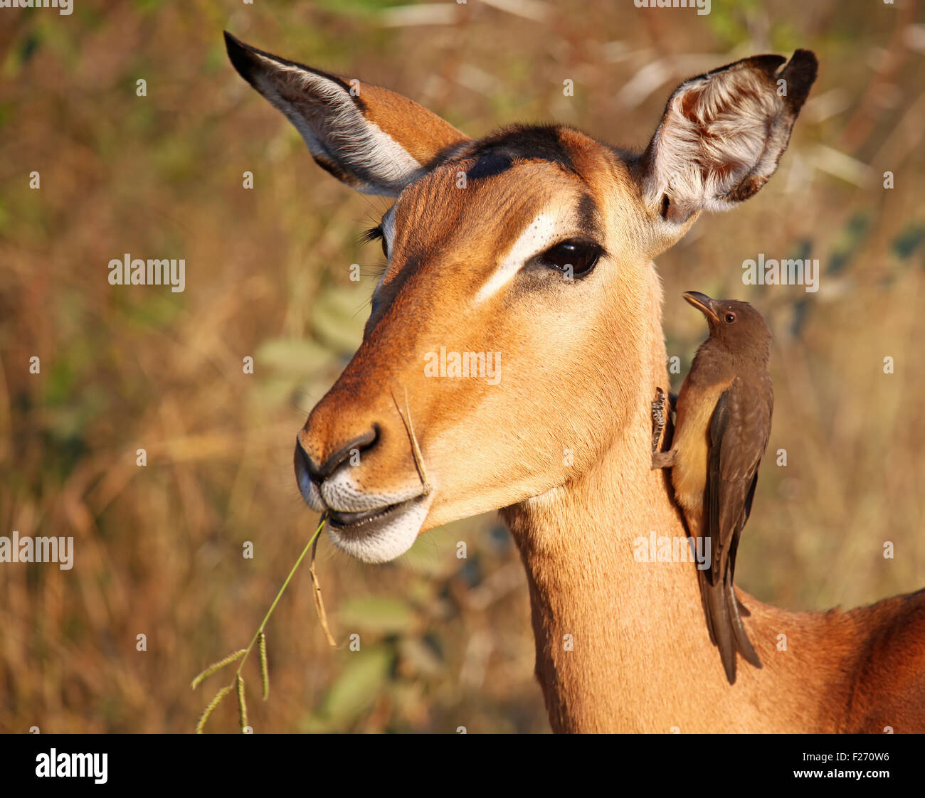 Impala with oxpecker in South Africa, Aepyceros melampus Stock Photo