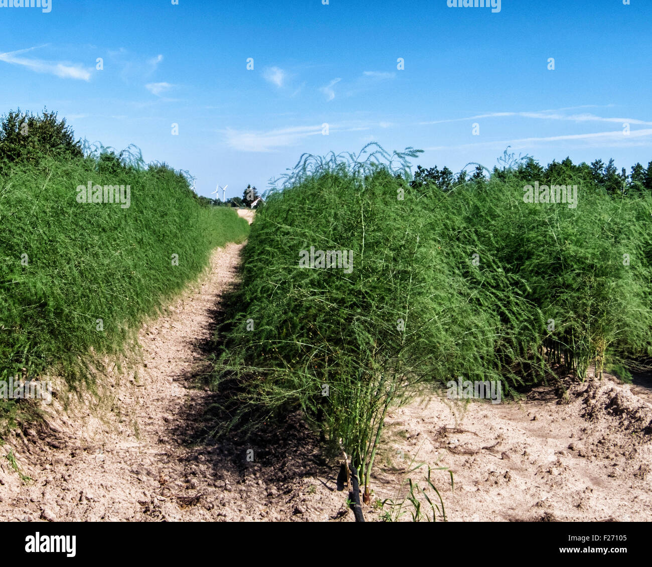 Farmland, Rows of asparagus in field and blue Summer sky, Brandenburg, Germany - Stock Image