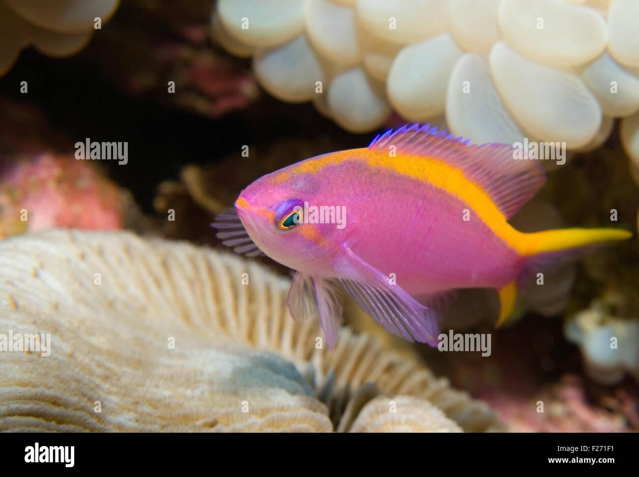 Purple Anthias (Pseudanthias tuka) Stock Photo