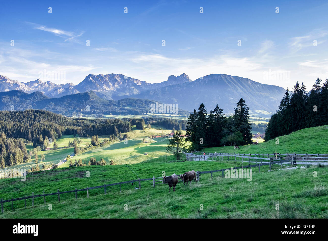 Bavarian Alps with cows grazing in lush farm meadow, Eisenberg, Eastern Allgaü, Bavaria, Germany - Stock Image