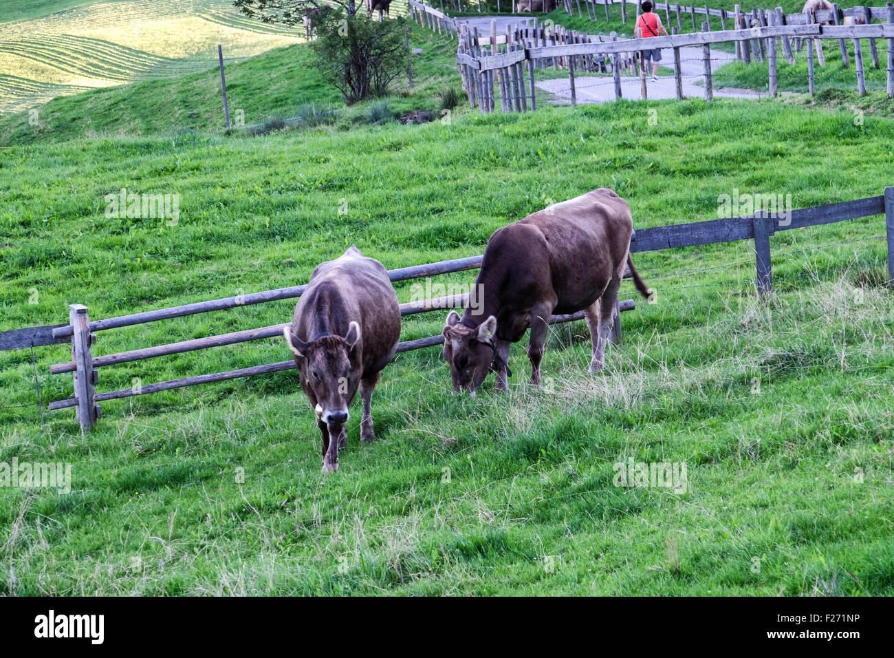 Cows grazing in lush farm meadow, Eisenberg, Eastern Allgaü, Bavaria, Germany - Stock Image