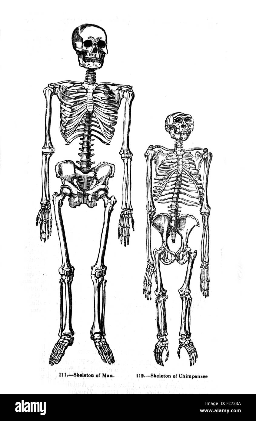 Comparison of Human and Chimpanzee Skeletons. Illustration from Pictorial Museum of Animated Nature. - Stock Image