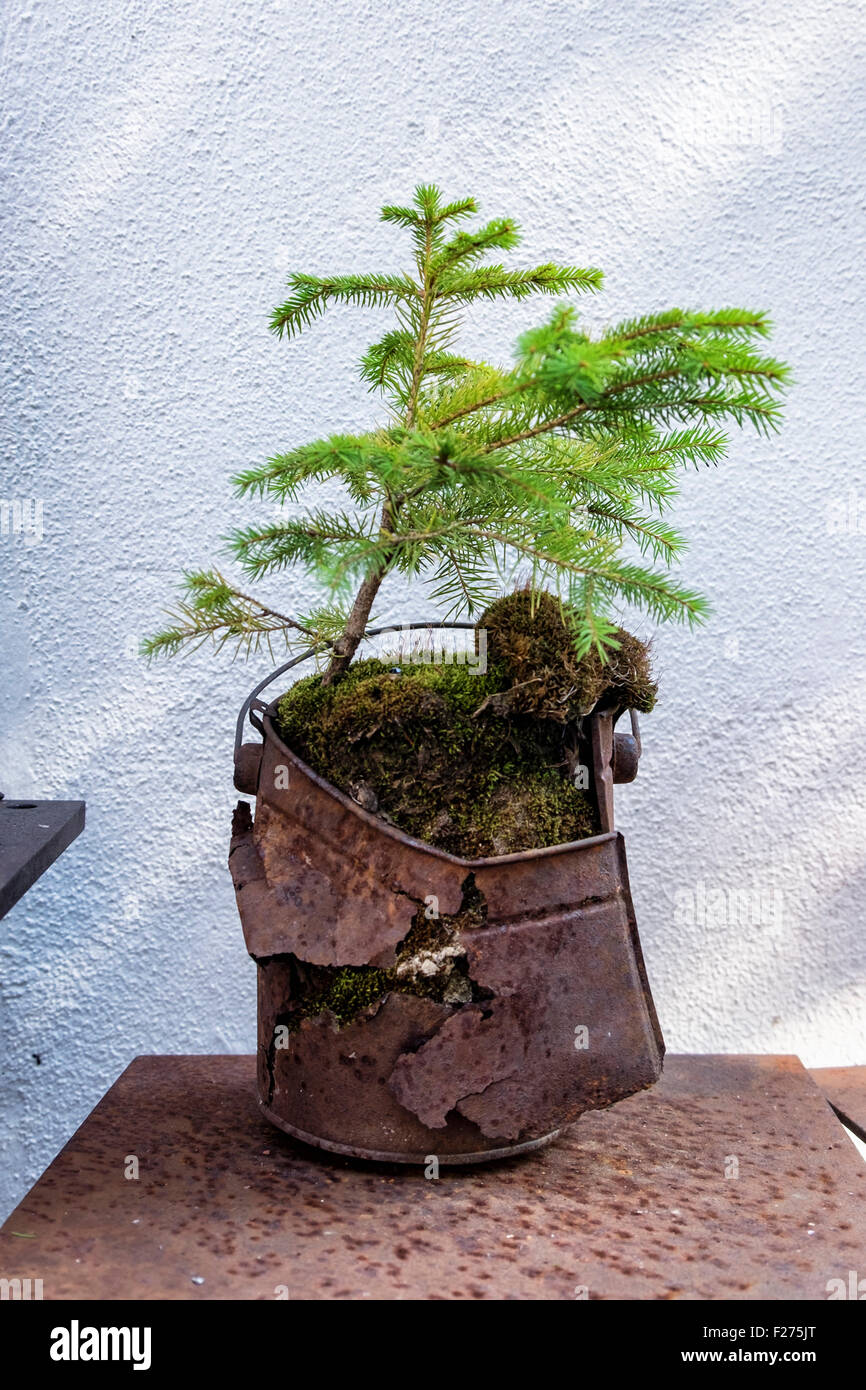 Miniature conifer tree in attractive rusty container - an unusual plant pot - Stock Image
