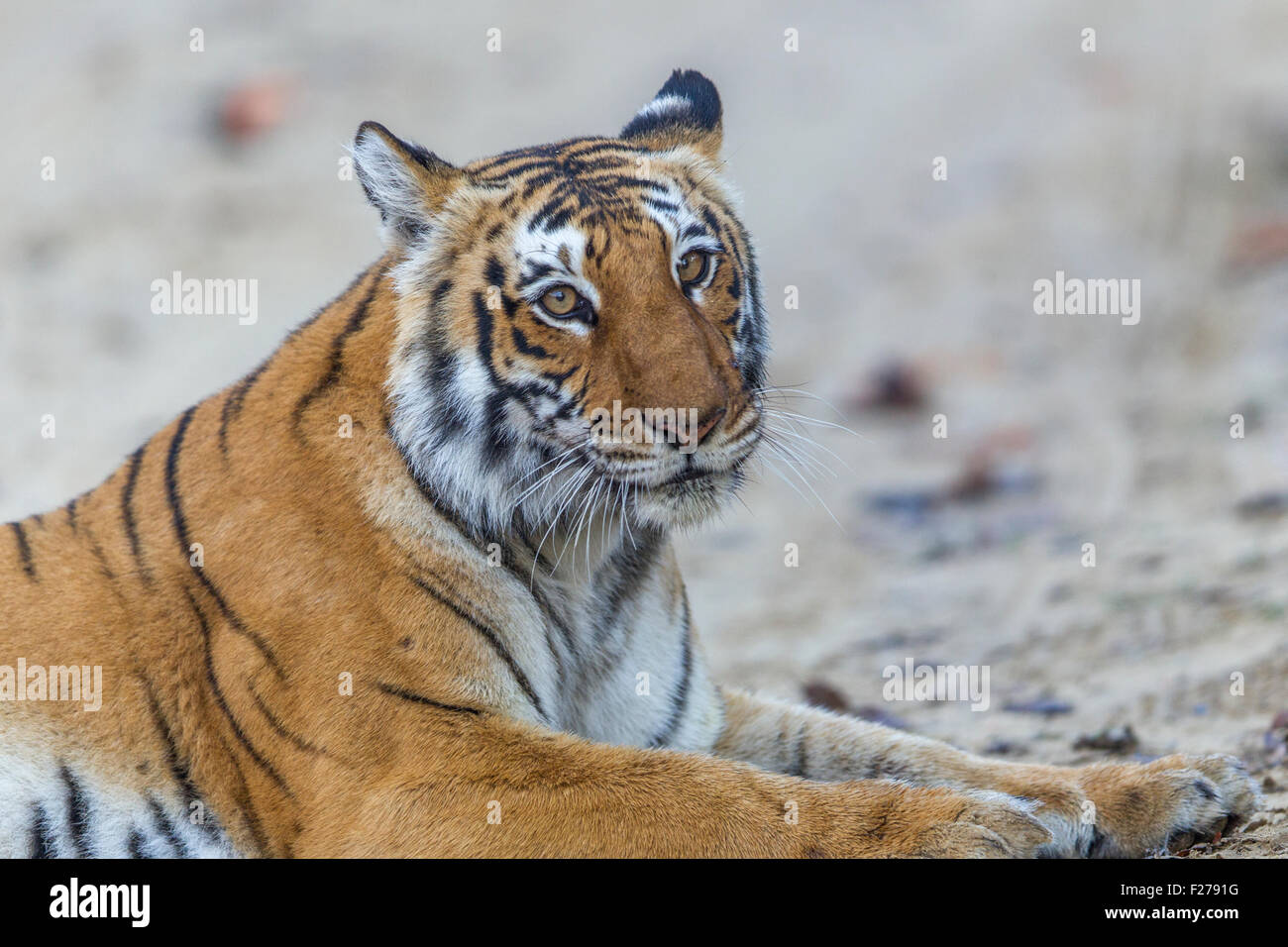 Bijrani Tigress Portrait at Jim Corbett National Park, India. ( Panthera Tigris ) - Stock Image