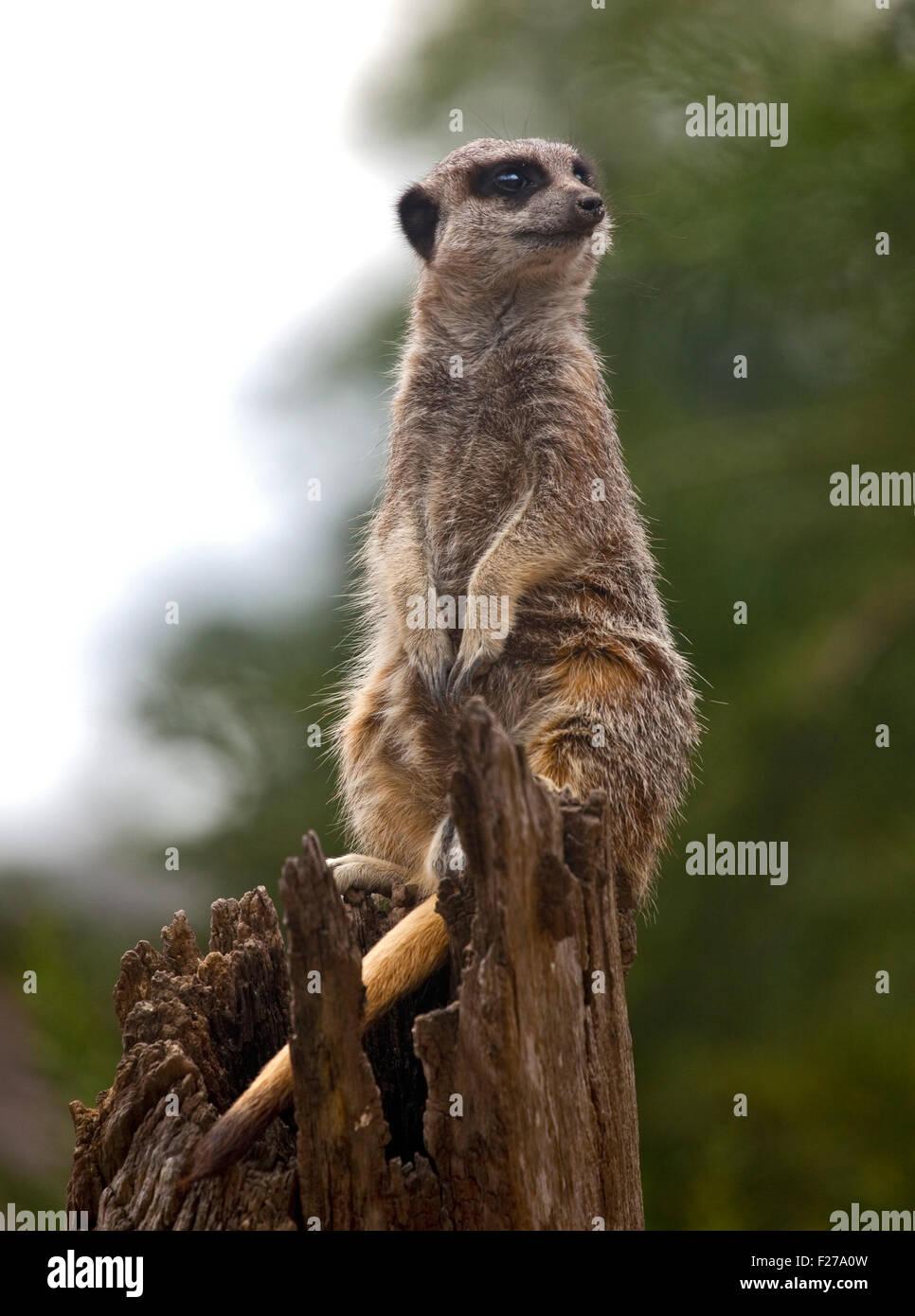 Slender Tailed Meerkat (suricata suricatta) - Stock Image