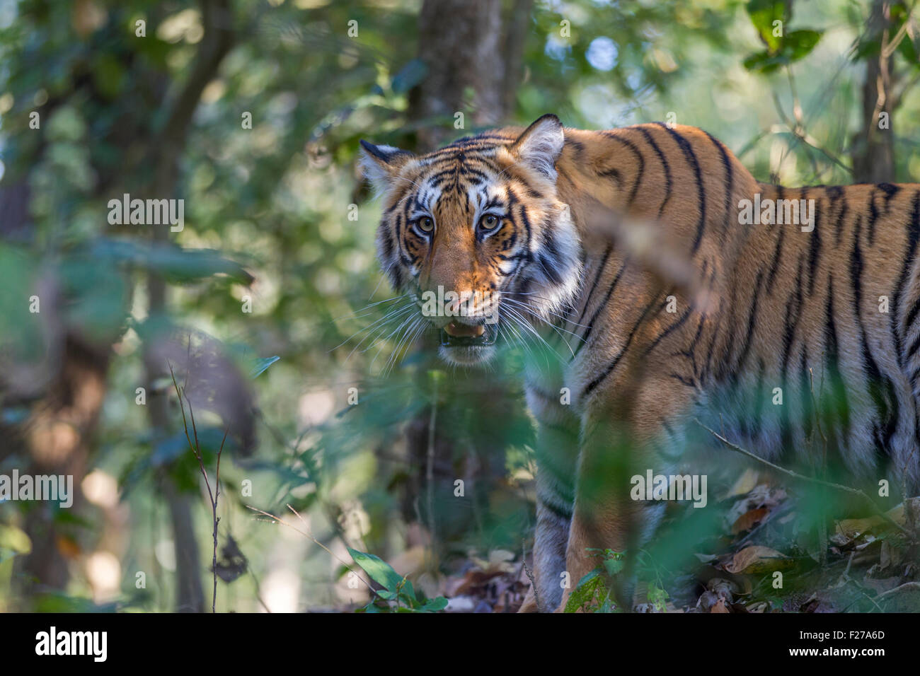 Sub adult Bengal Tiger besides the trees at Jim Corbett National Park, India. ( Panthera Tigris ) - Stock Image