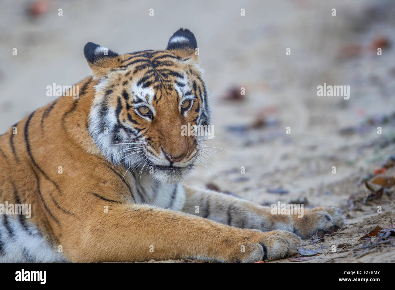Bijrani Tigress growling at Jim Corbett National Park, India. ( Panthera Tigris ) - Stock Image
