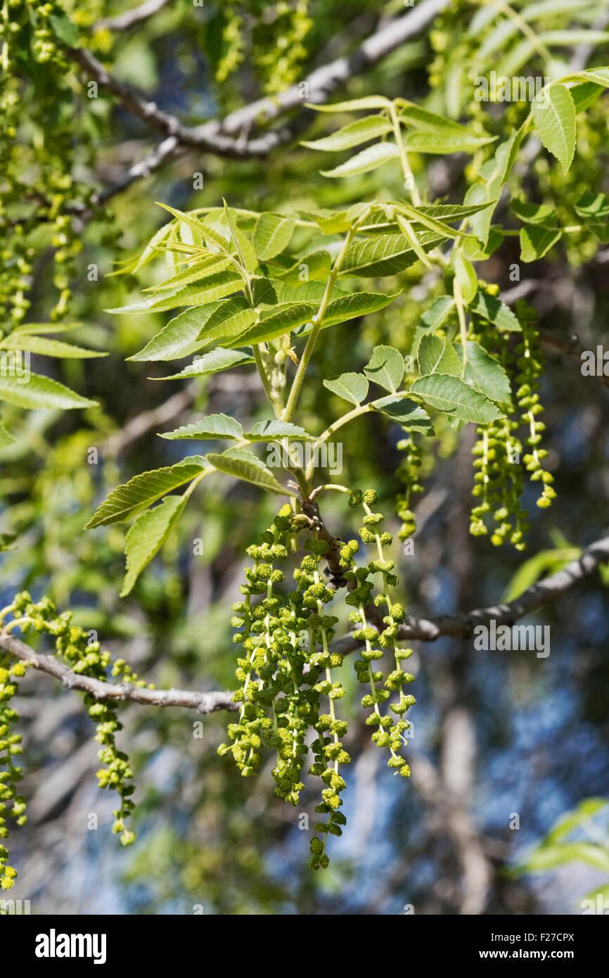 Flowering Black Walnut Tree (Juglans nigra), Arizona - Stock Image