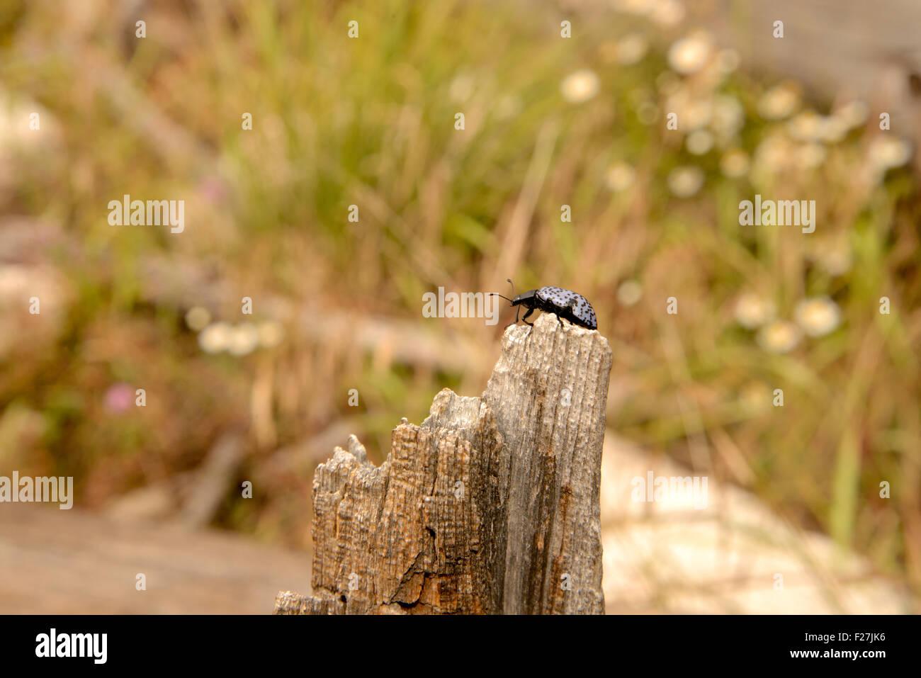 Pleasing Fungus Beetles, Gibbifer californicus, Sonoran Desert, Santa Catalina Mountains, Coronado National Forest, - Stock Image