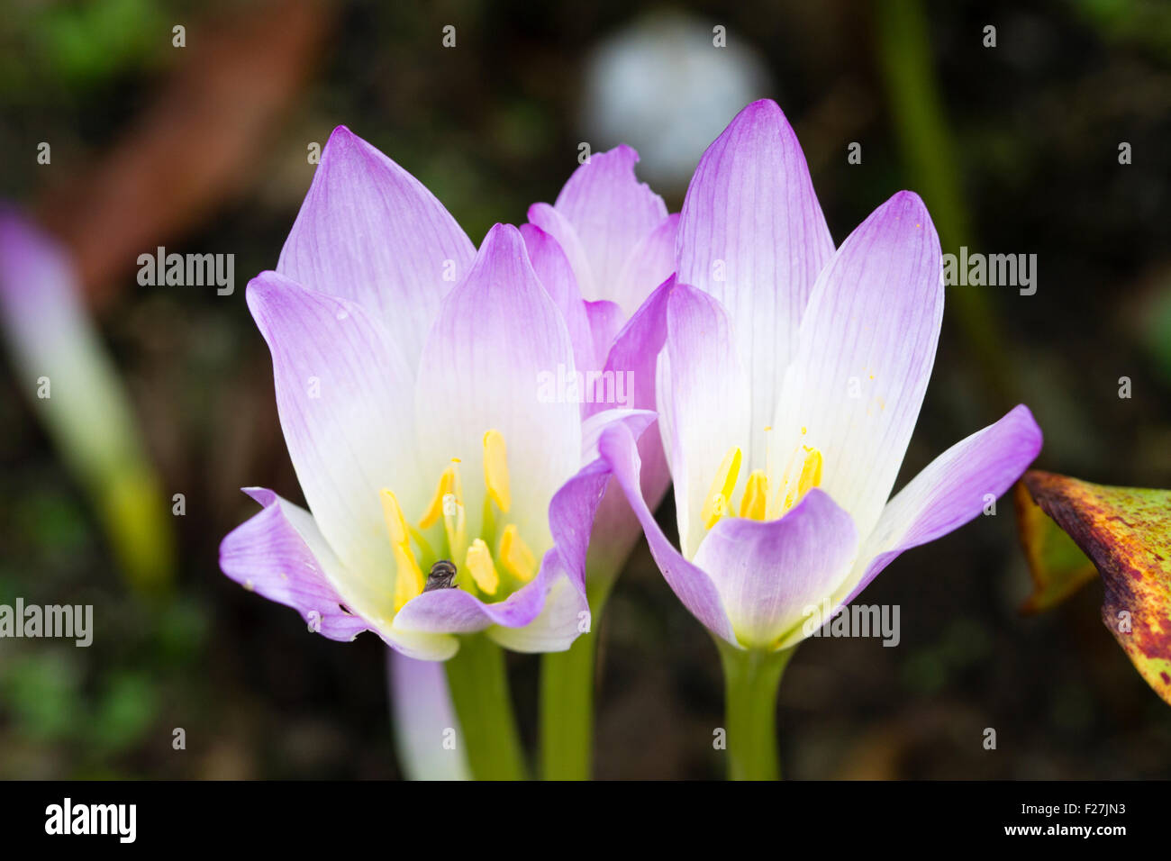 Early autumn flowers of the meadow saffron, Colchicum speciosum 'Kiss me Quick' - Stock Image