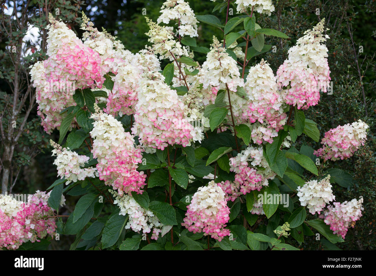 the large panicles of the deciduous hydrangea paniculata. Black Bedroom Furniture Sets. Home Design Ideas