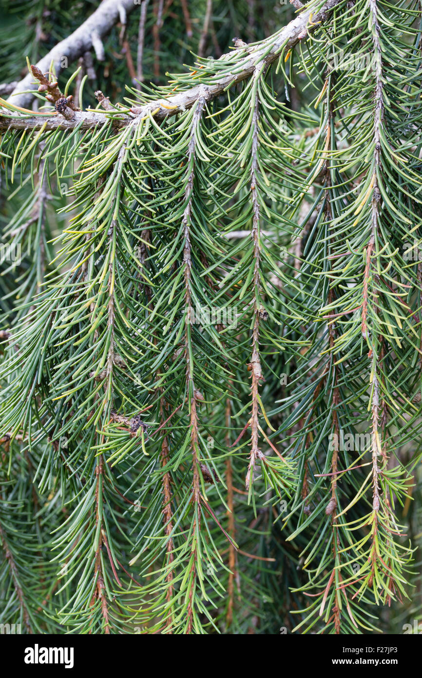 Close up of the dangling branches of the evergreen Brewer's weeping spruce, Picea breweriana. - Stock Image
