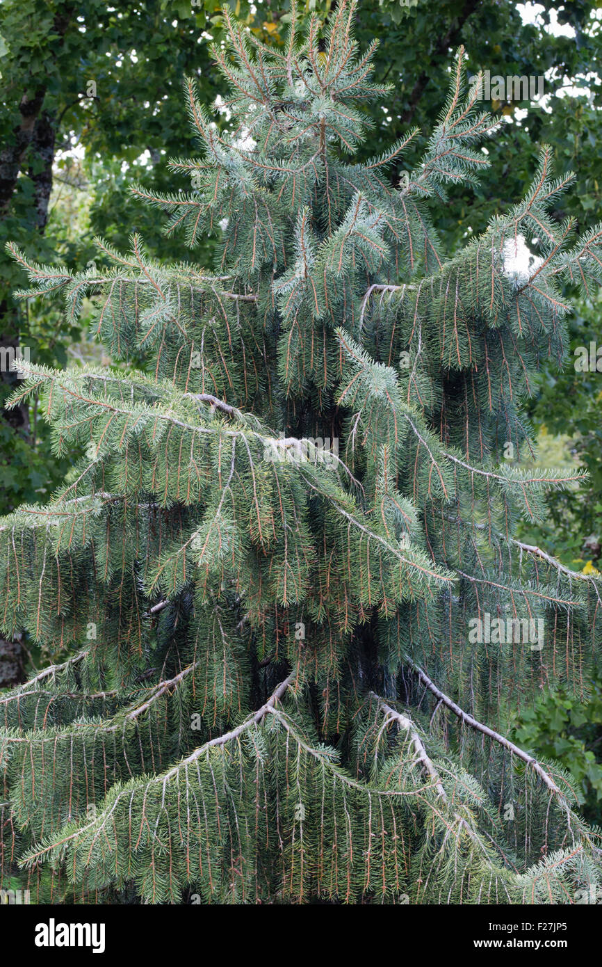 Dangling branches of the evergreen Brewer's weeping spruce, Picea breweriana. - Stock Image