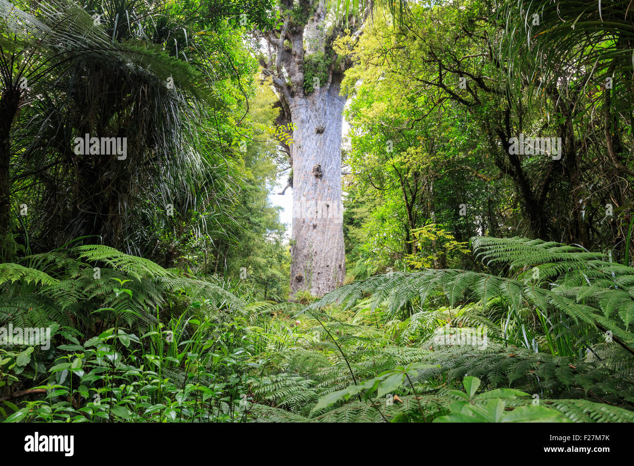 Tane Mahuta, the lord of the forest: one of the largest Kauri trees in Waipoua Kauri forest in New Zealand Stock Photo