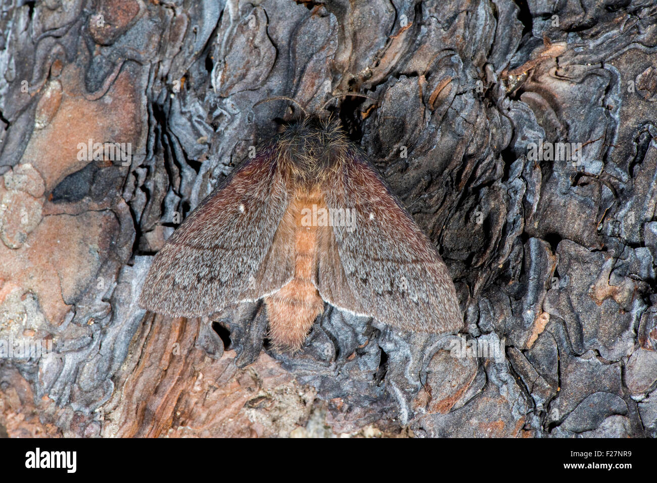 Hubbard's Small Silkmoth  Sphingicampa hubbardi Sycamore Canyon, Ruby Road, Santa Cruz County, Arizona, United - Stock Image