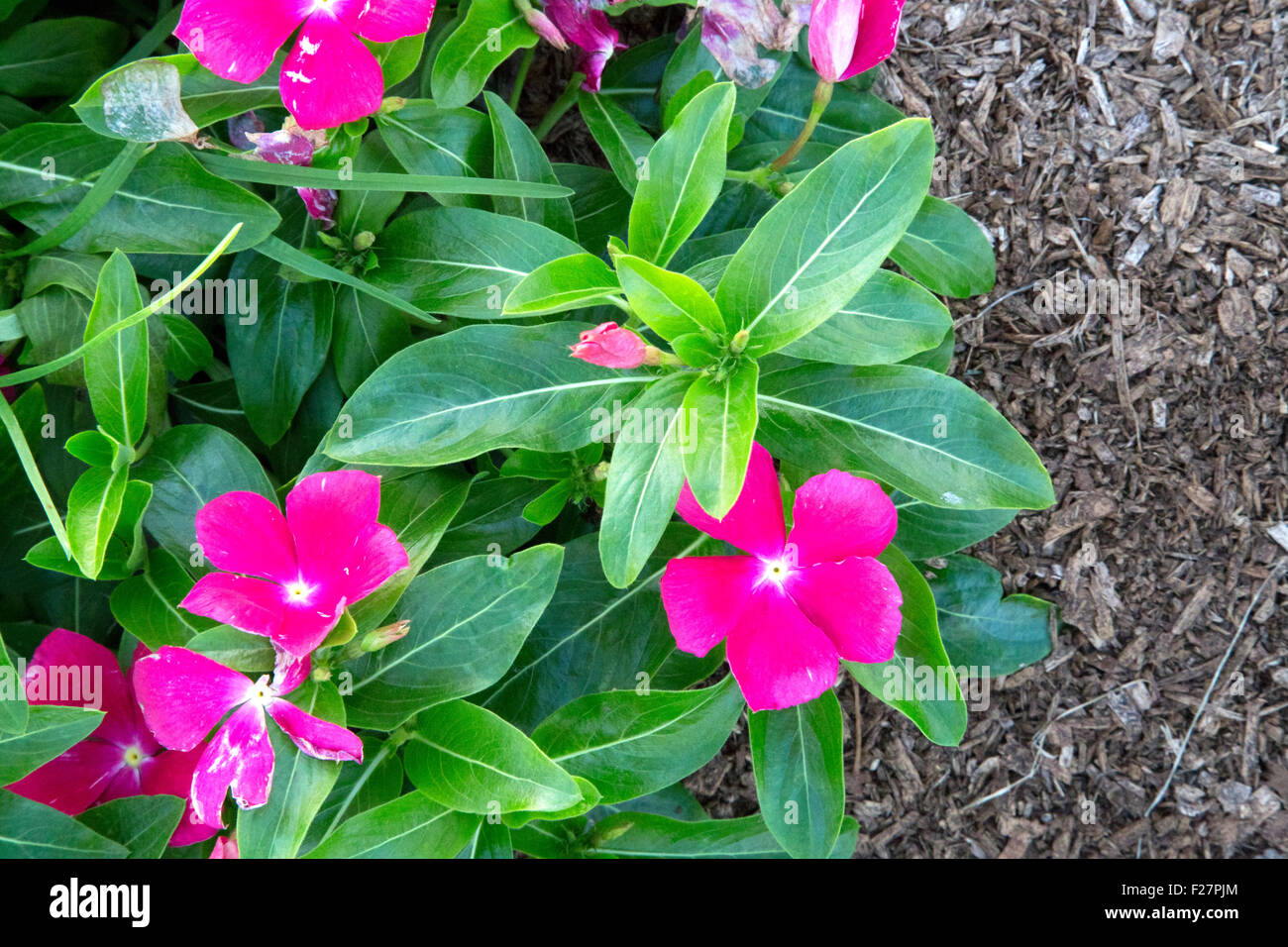 Pink mediterranean flower stock photos pink mediterranean flower lots of small pink flowers catharanthus mediterranean hot rose stock image mightylinksfo