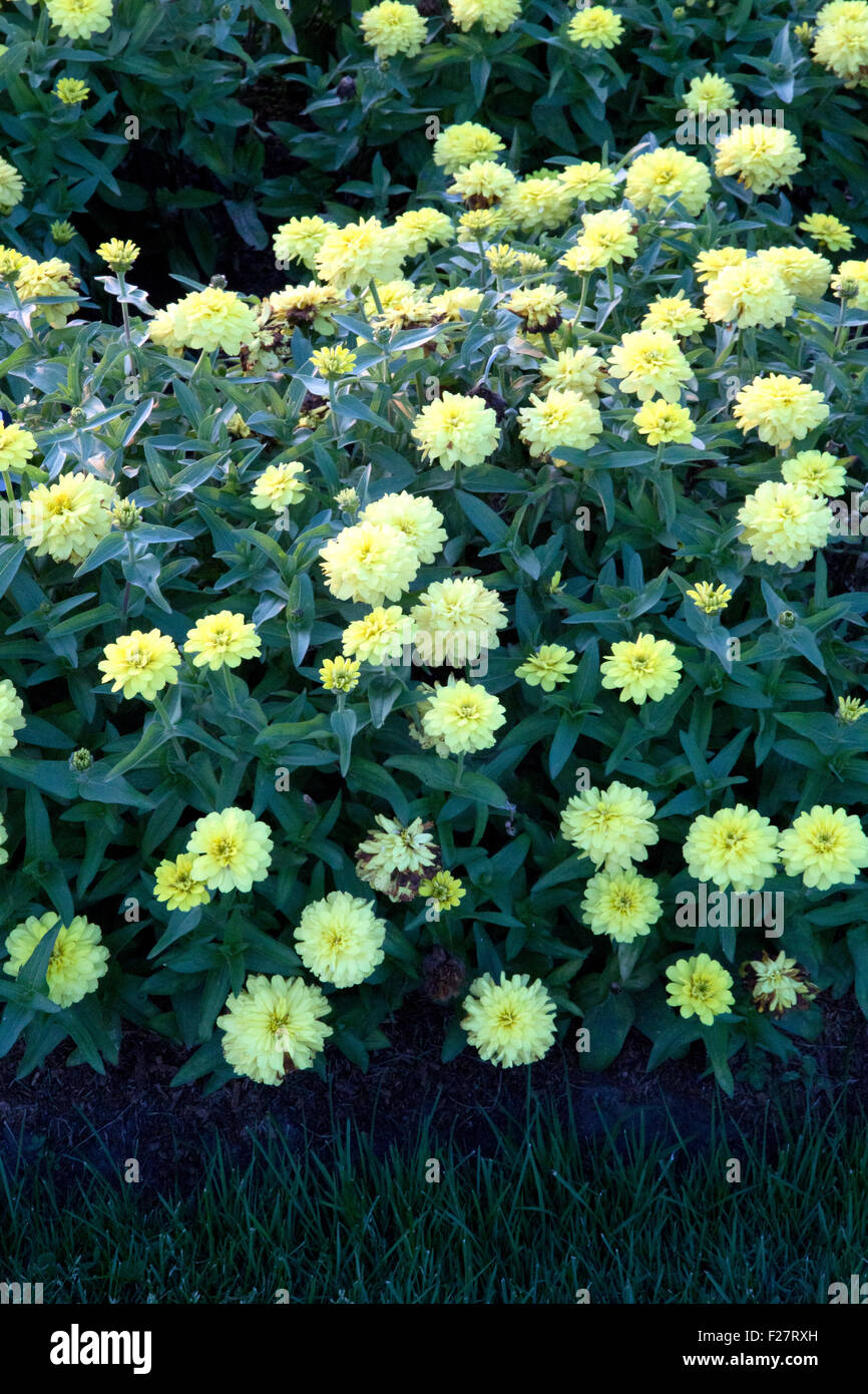 Lots of yellow zinnia flowers in a garden with grass Stock Photo