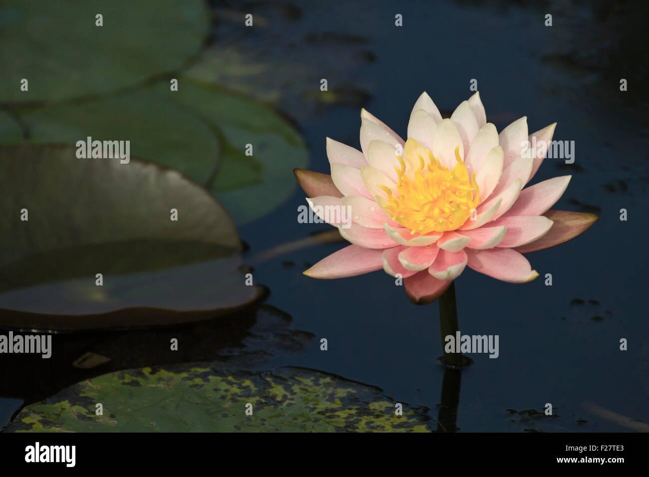 Bloom white lotus in natural habitat stock photo 87454027 alamy bloom white lotus in natural habitat mightylinksfo
