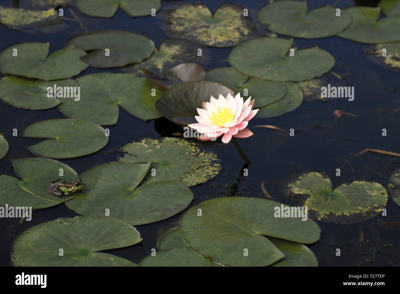 Bloom white lotus in natural habitat stock photo 87454046 alamy bloom white lotus in natural habitat mightylinksfo