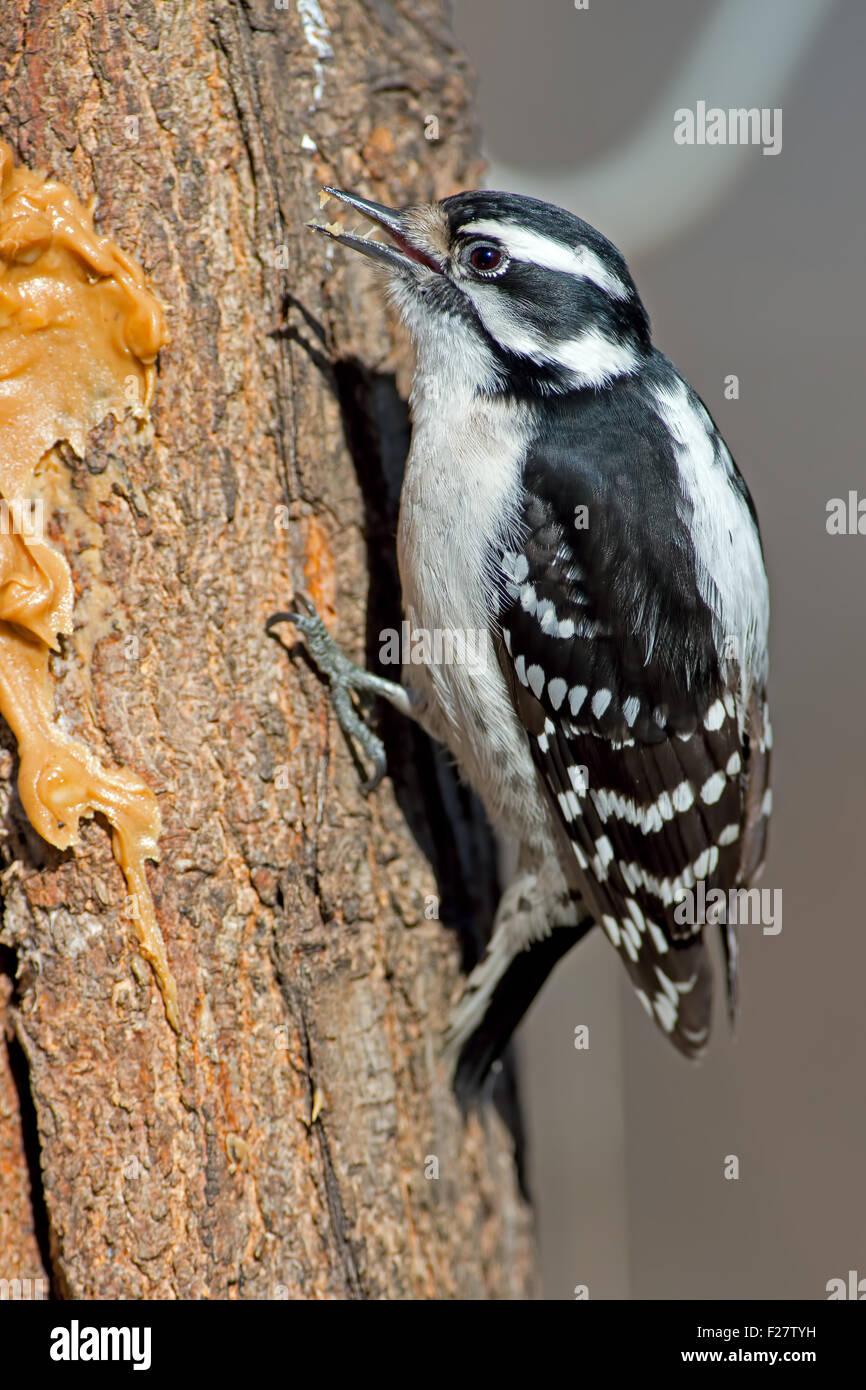 Downy Woodpecker Scaling a Tree - Stock Image
