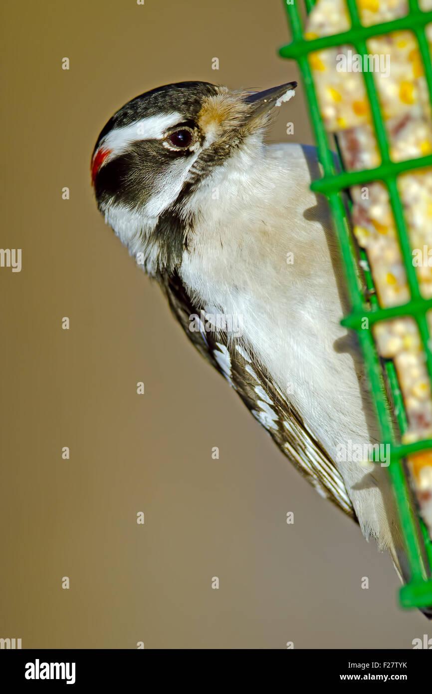 Male Downy Woodpecker on Suet Feeder - Stock Image