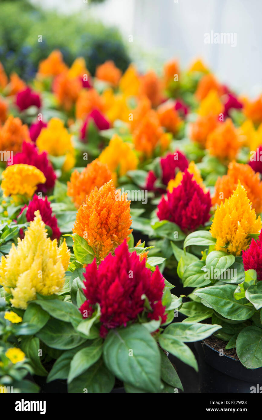 Cockscomb flowers for sale in flower shop, Augsburg, Bavaria, Germany Stock Photo