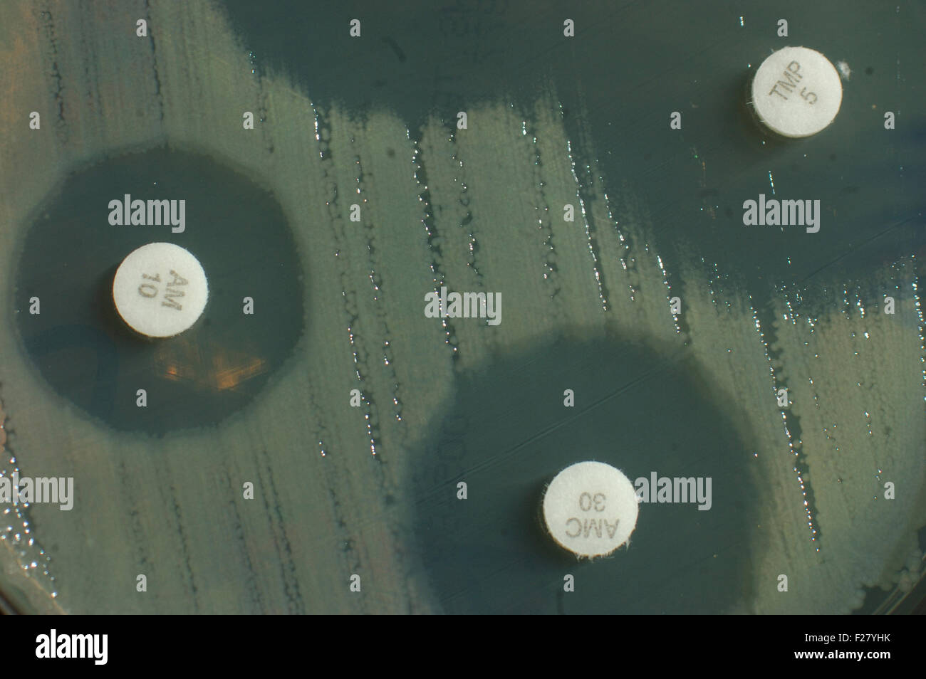 petri dish with antibiotic sensitivity discs showing inhibition zones for bacterial colonies Stock Photo