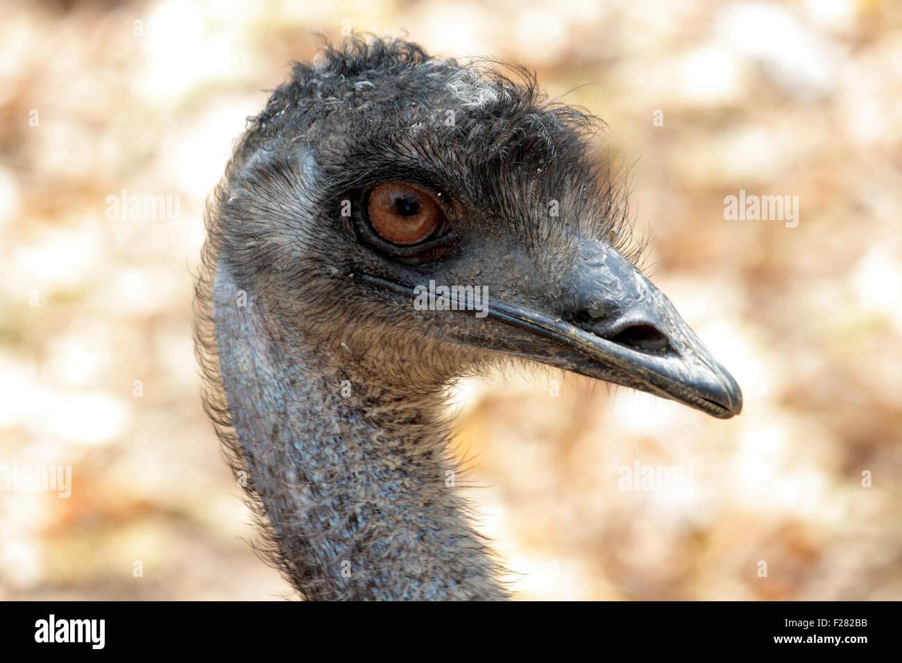 The emu bird - Stock Image