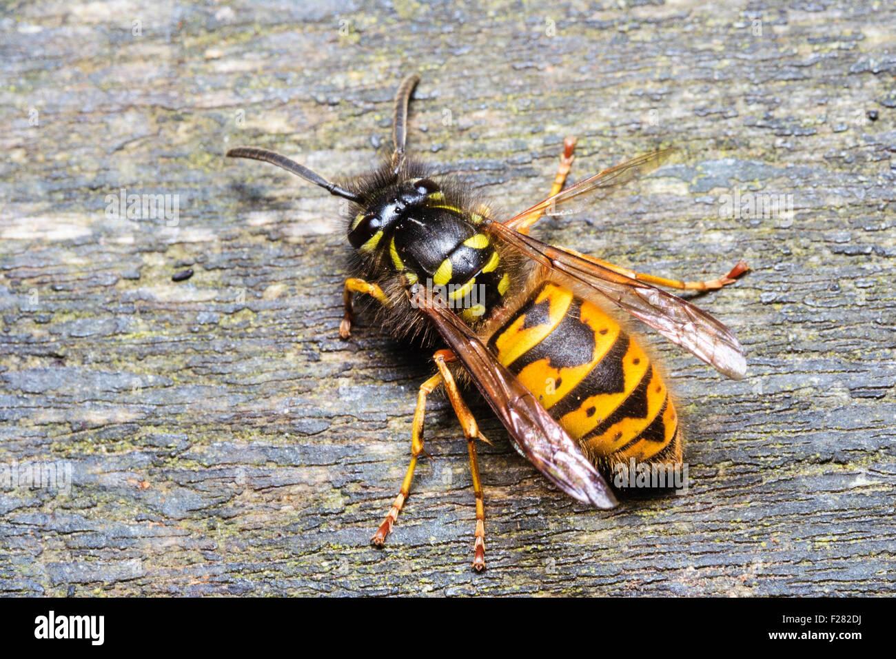 Insect. Bee, wasp. Yellow jacket common wasp, 'vespula vulgaris' sitting on wood. Macro close-up. Top-down - Stock Image