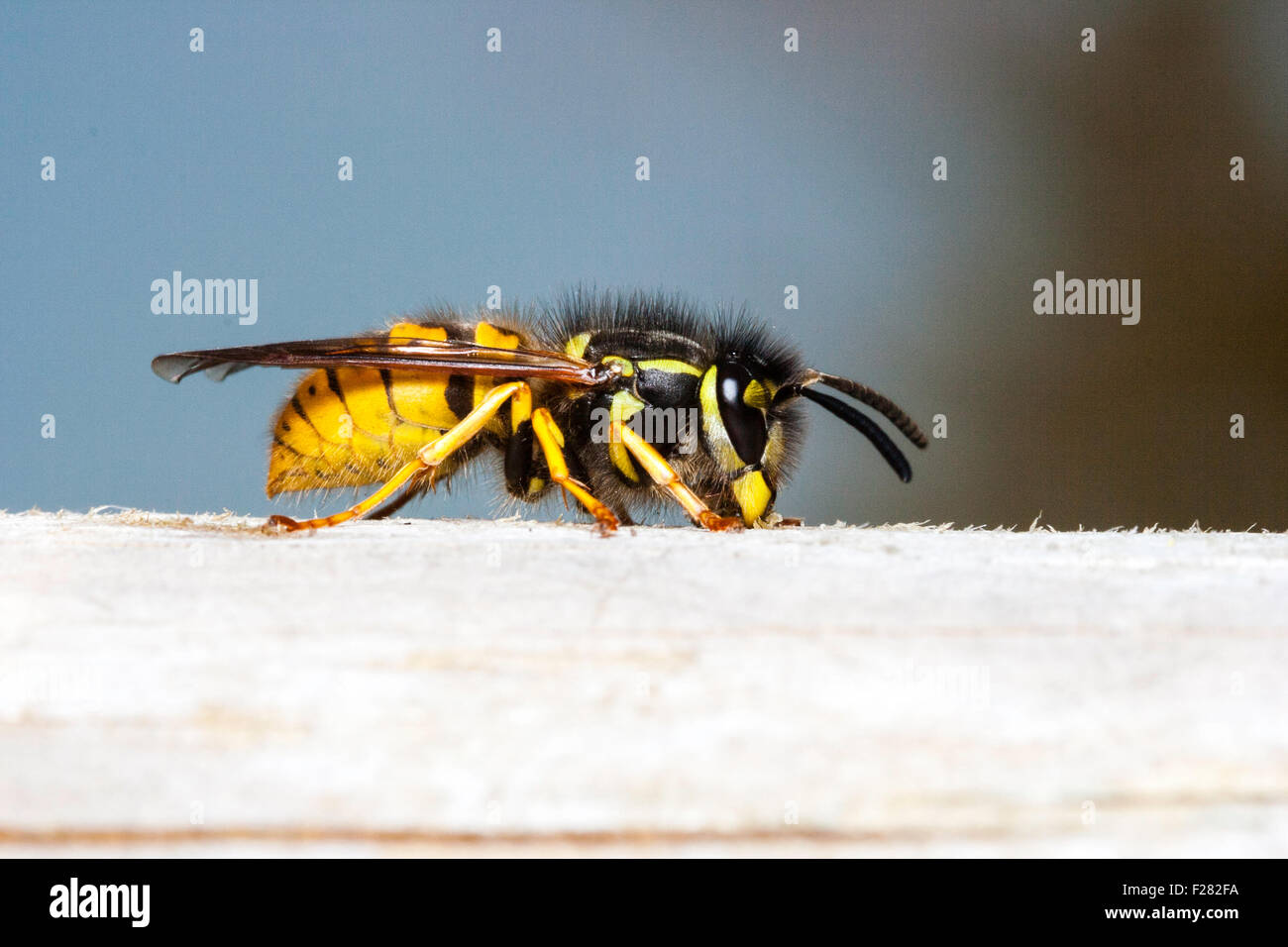 "Insect. Marco, close up of Common wasp, ""vespula vulgaris"", sitting on bit of wood, direct side-view against blue Stock Photo"