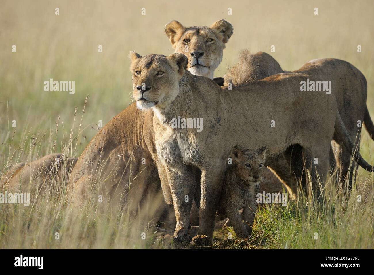 Two lionesses (Panthera leo), protecting their young, Maasai Mara National Reserve, Narok County, Kenya - Stock Image
