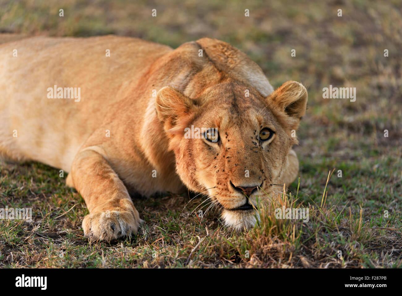 Lioness (Panthera leo) with a belligerent look, Maasai Mara National Reserve, Narok County, Kenya - Stock Image