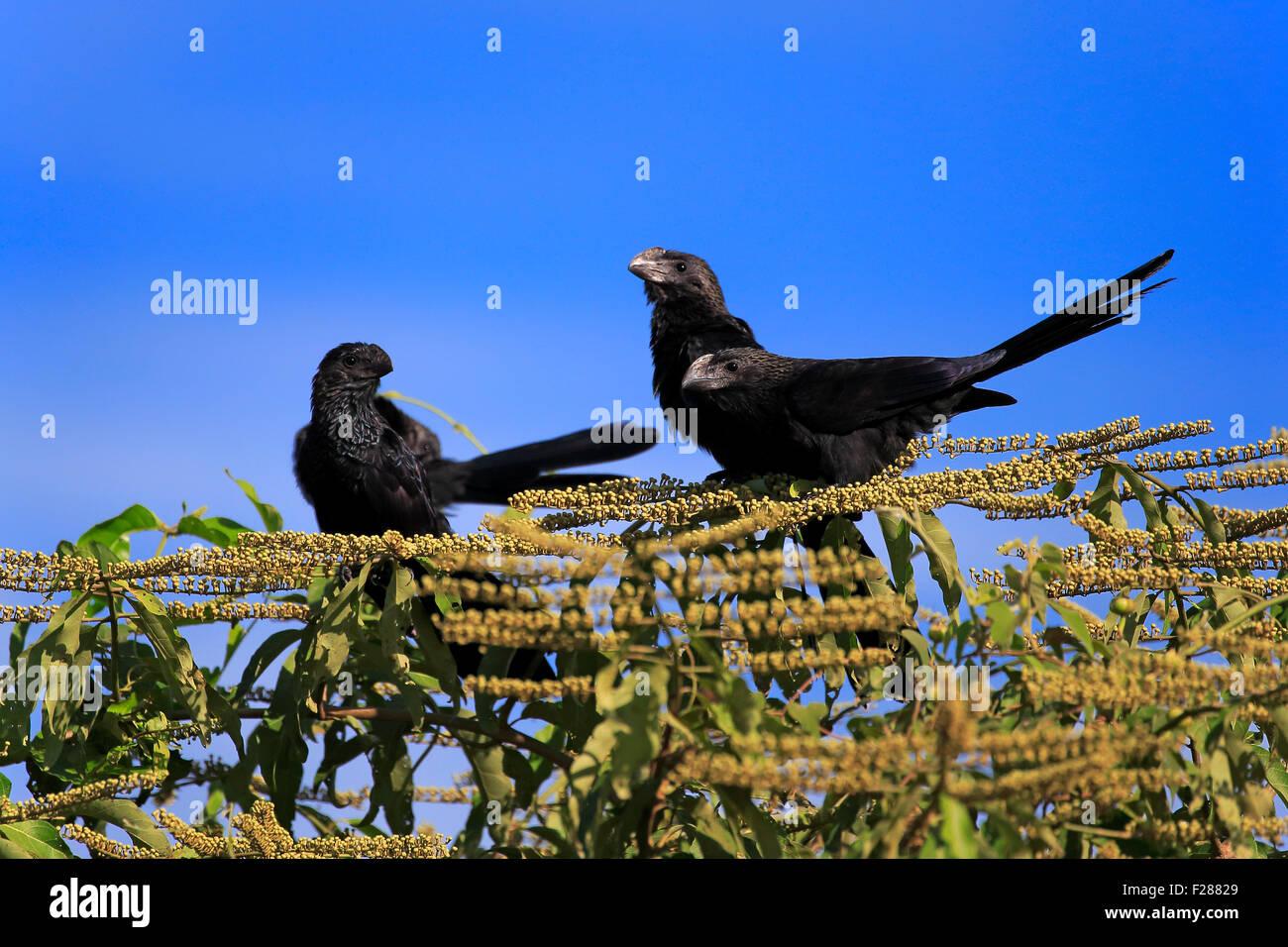 Smooth-billed anis (Crotophaga ani), sitting on a tree, group, Pantanal, Mato Grosso, Brazil - Stock Image