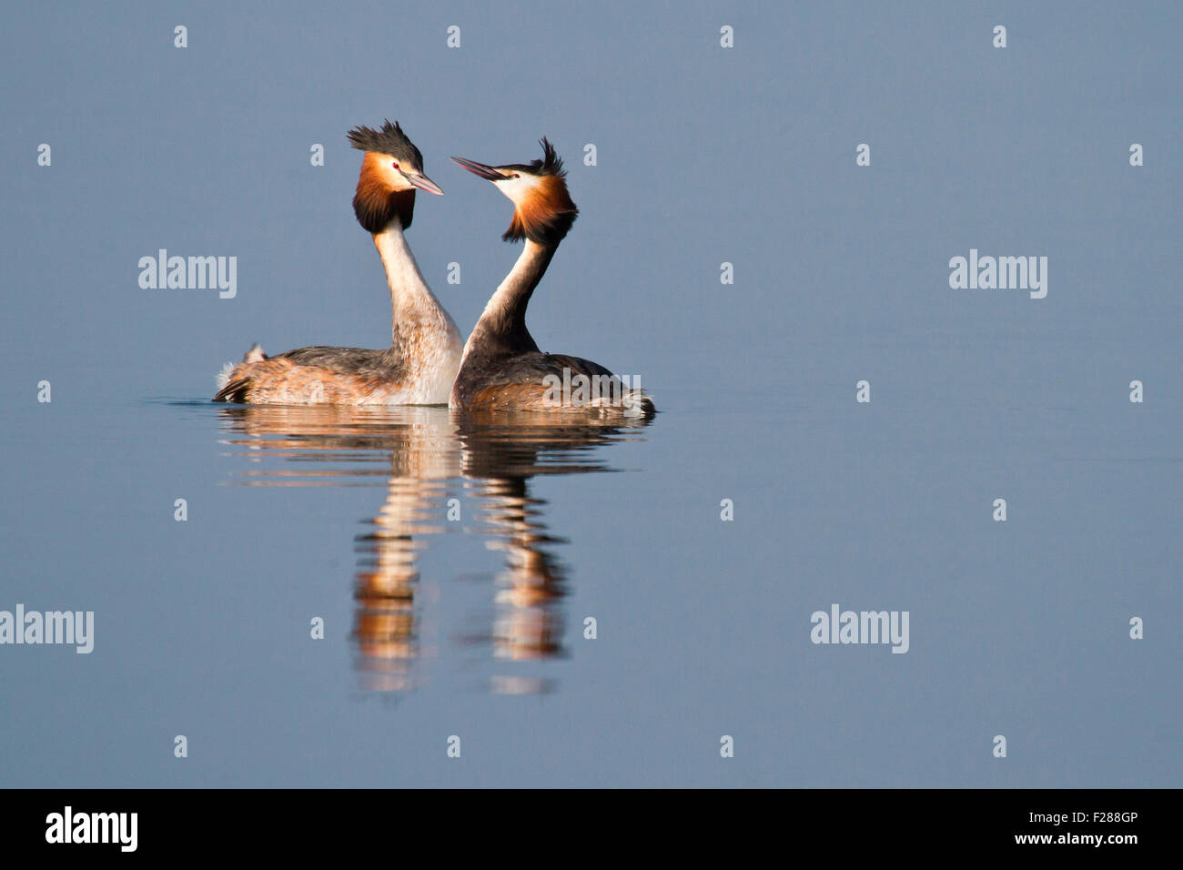 Courting Great Crested Grebes (Podiceps cristatus), Hesse, Germany Stock Photo