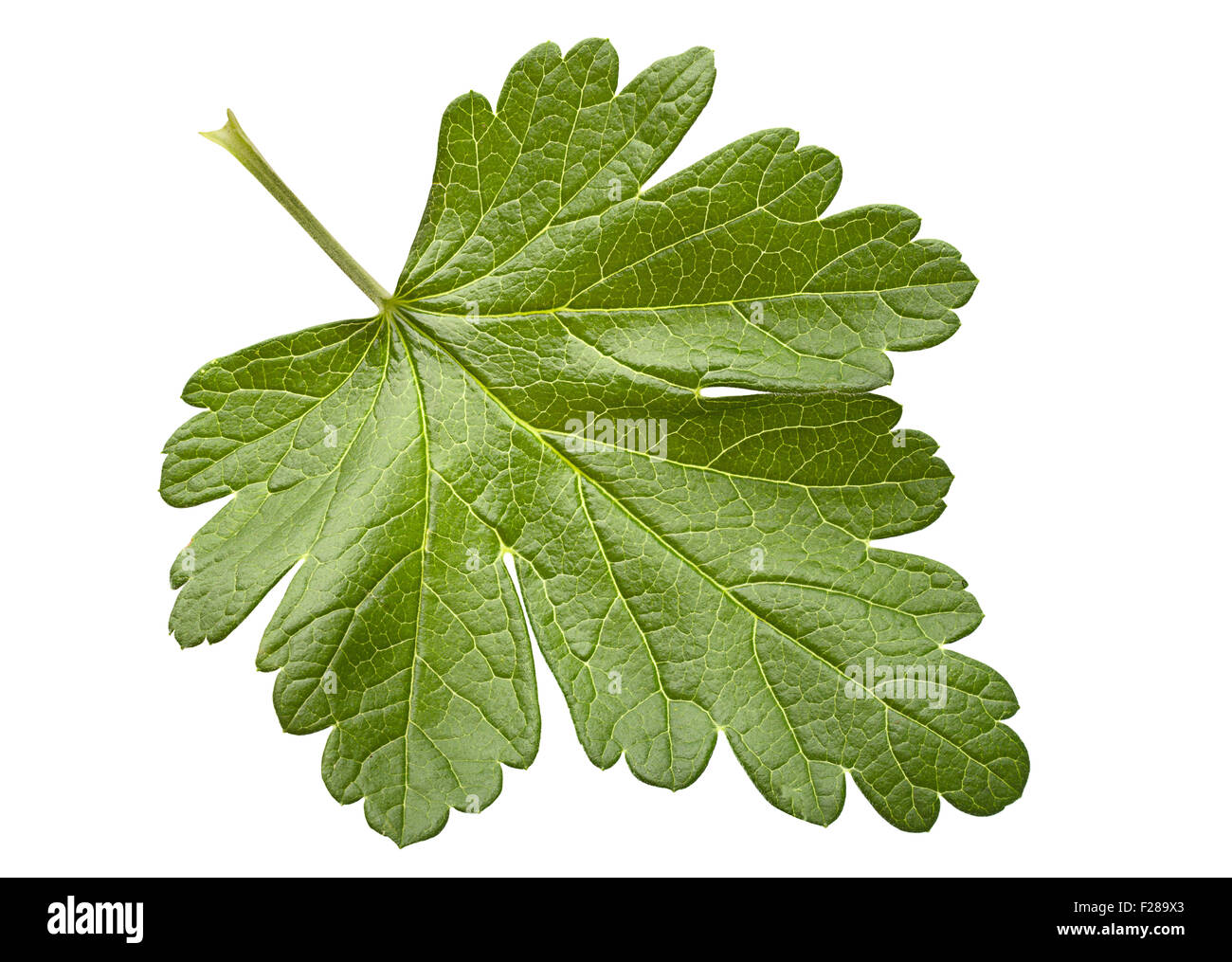Gooseberry leaf closeup isolated on white background - Stock Image