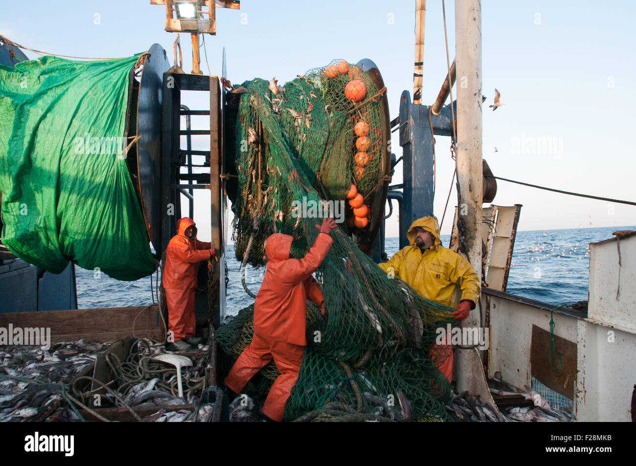 Emptying dragger net full of haddock on deck.  Georges Bank, New England - Stock Image