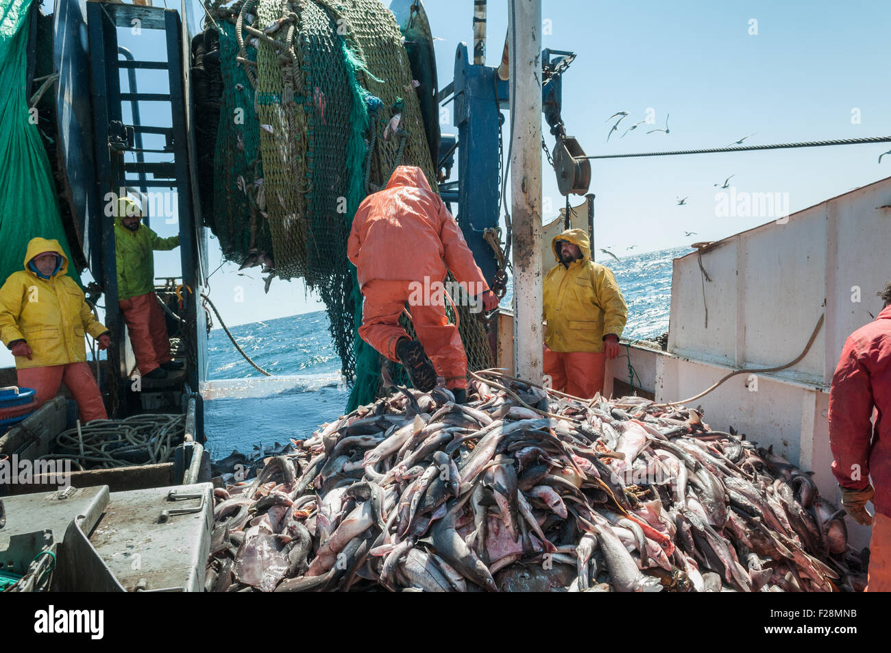 dogfish sharks on deck of offshore fishing dragger.  Georges Bank, New England - Stock Image
