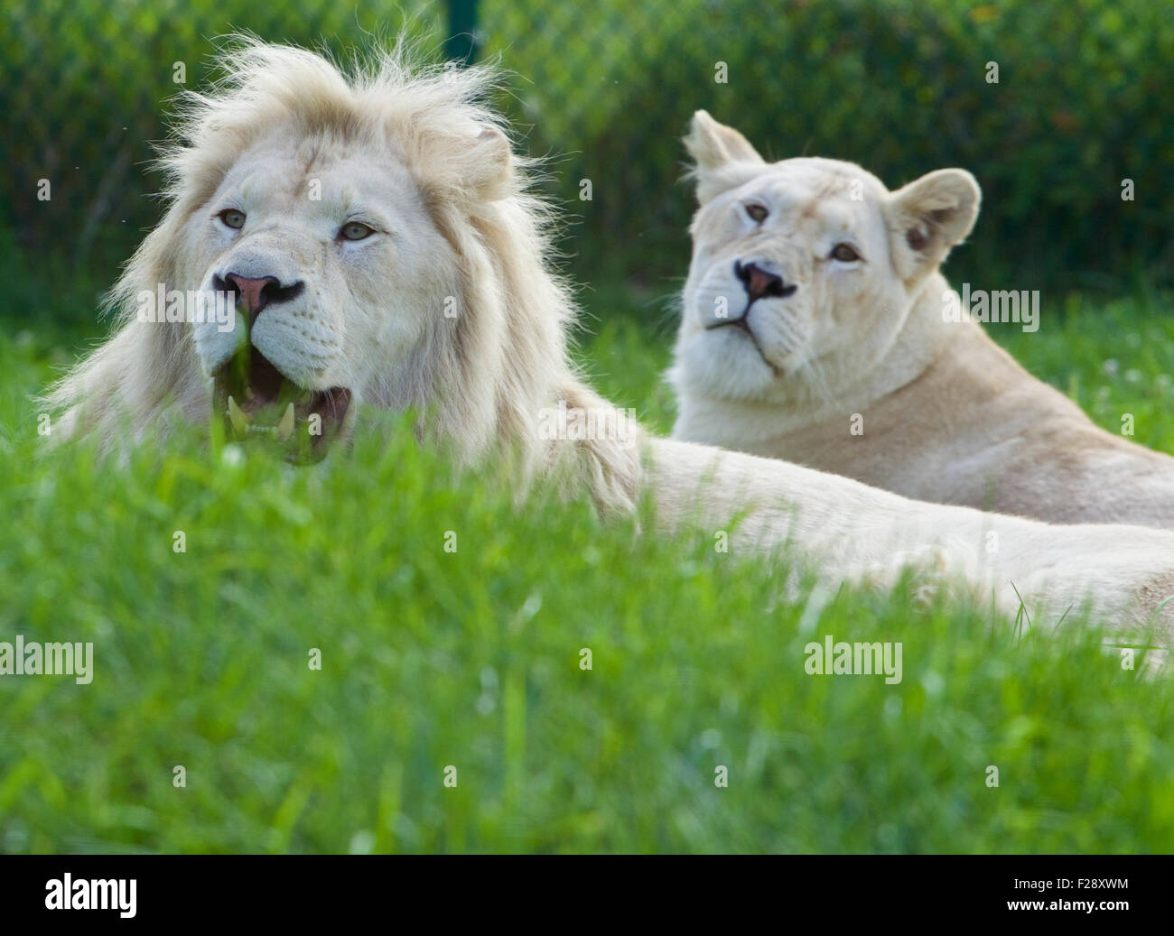 A pair of the beautiful  and dangerous white lions laying on the grass Stock Photo