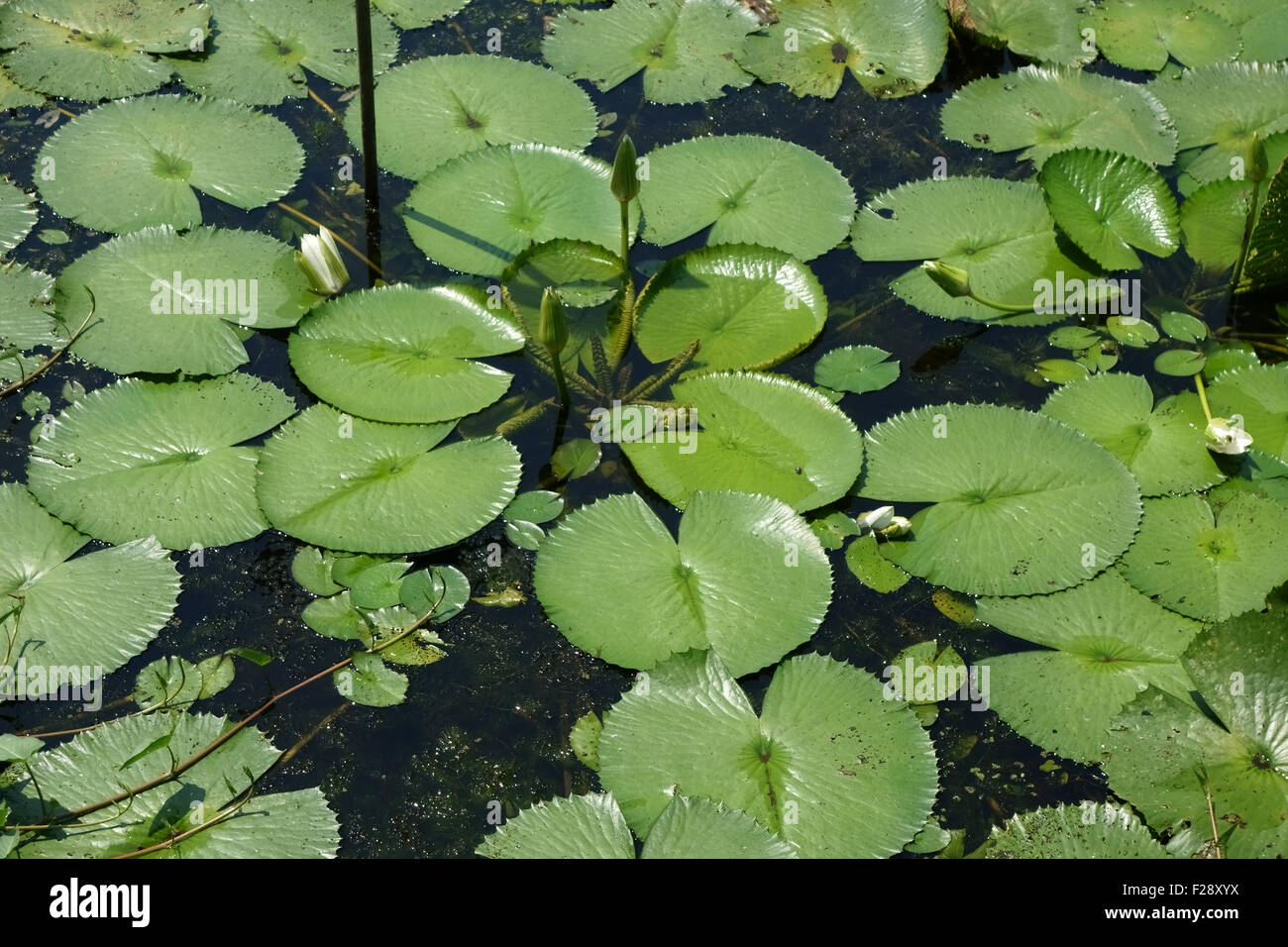 Water lilies, Nymphaea pubescens, lily pad leaves  of plants coming into flower on the surface of a lake on Koh Stock Photo