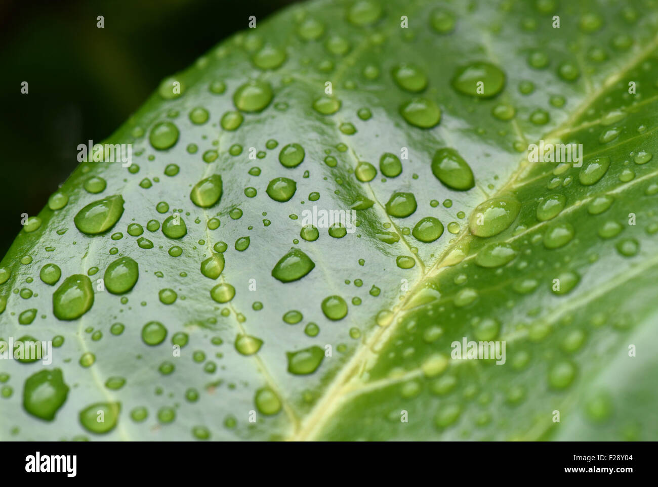Rain water drops sitting on the shiny waxy leaf of cherry laurel, Prunus laurocerasus, Berkshire, August - Stock Image