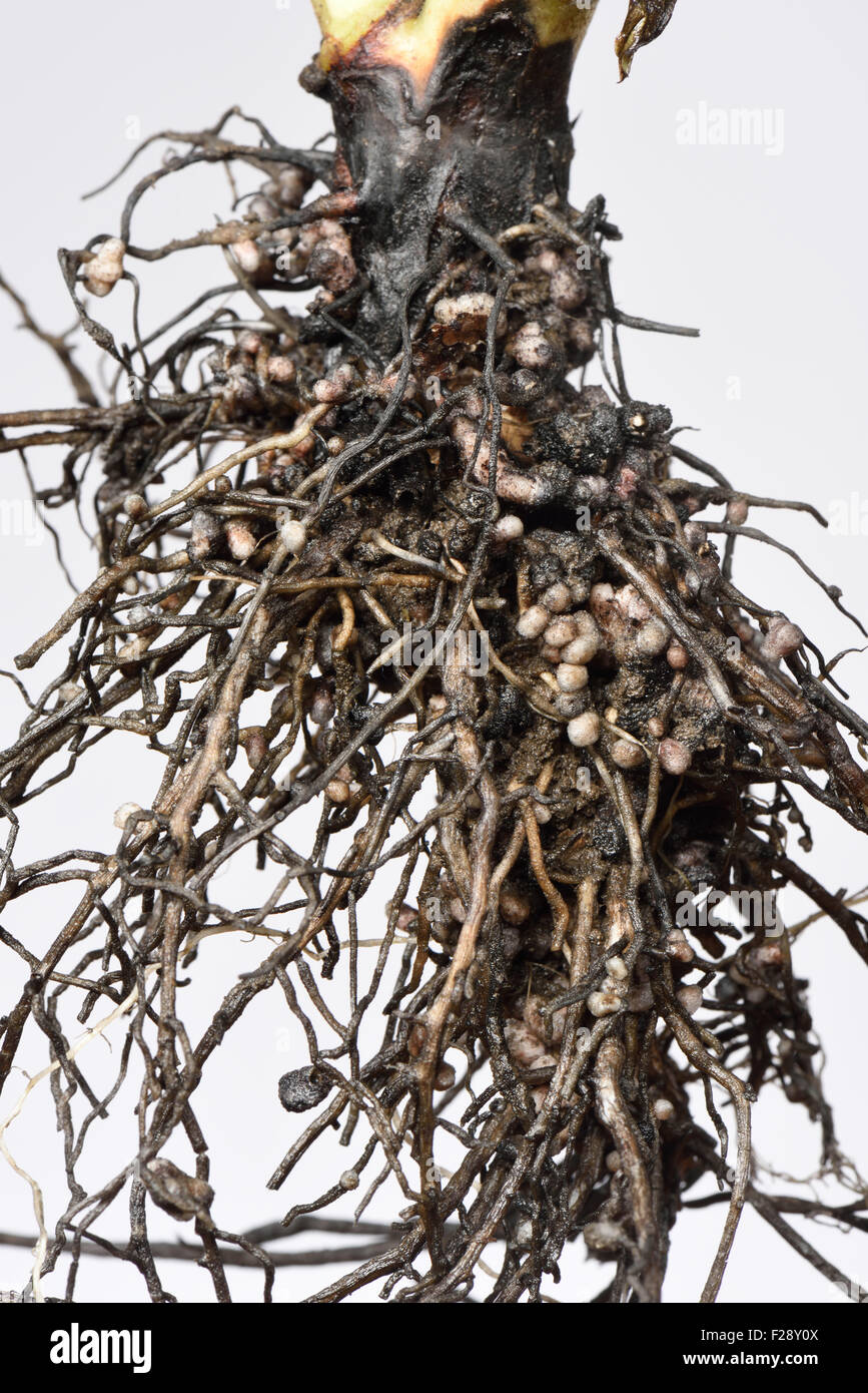 Exposed root of a broad bean plant showing nitrogen fixation nodules formed by Rhizobia, symbiotic bacteria - Stock Image