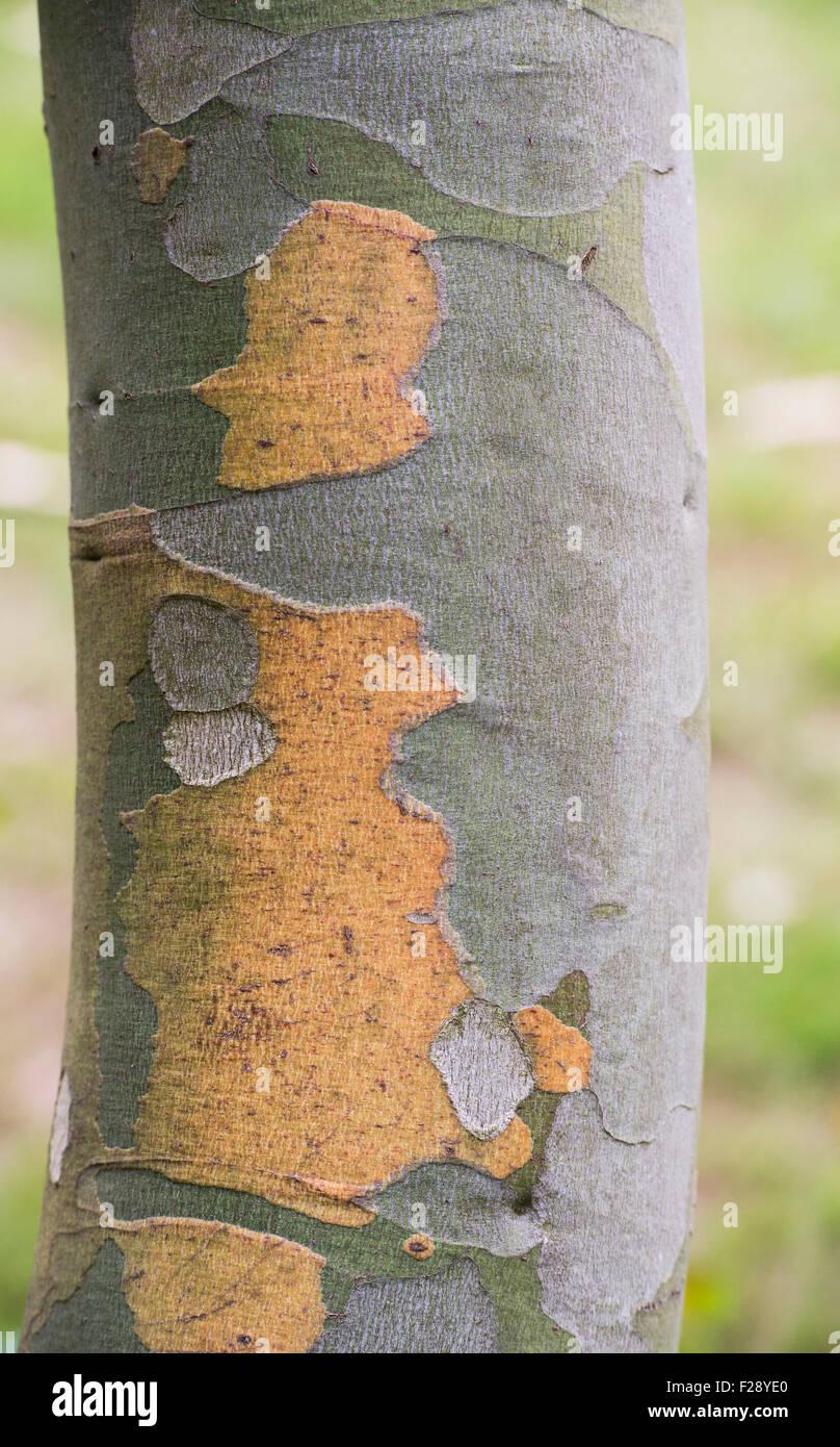 Eucalyptus pauciflora subsp. debeuzevillei. Jounama snow gum tree bark - Stock Image
