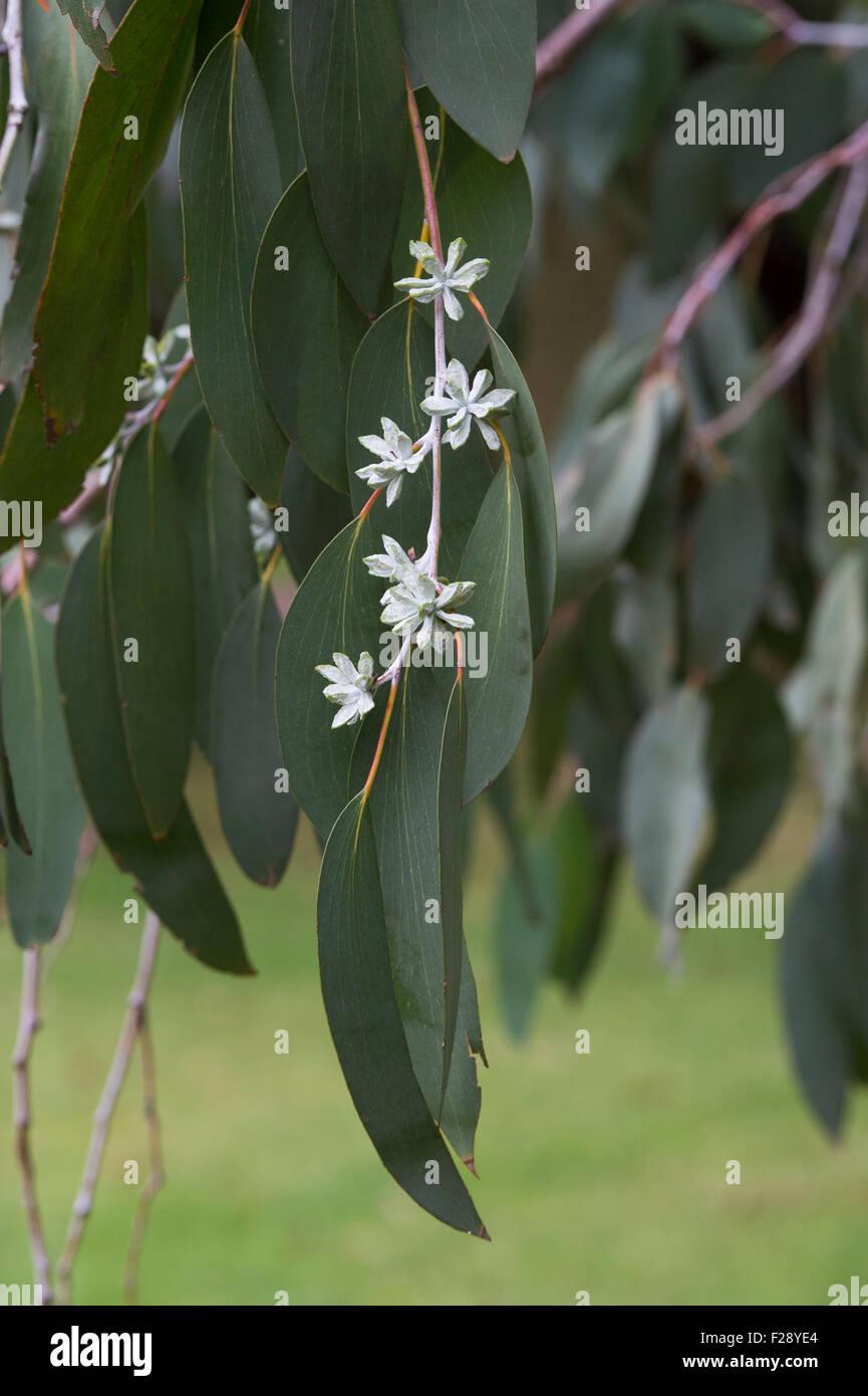 Eucalyptus pauciflora subsp. debeuzevillei. Jounama snow gum flower buds - Stock Image