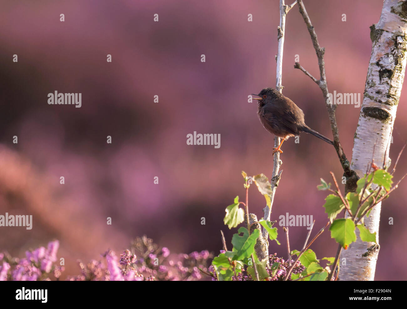 Male Dartford Warbler (Sylvia undata) perched on branch of silver birch tree - Stock Image