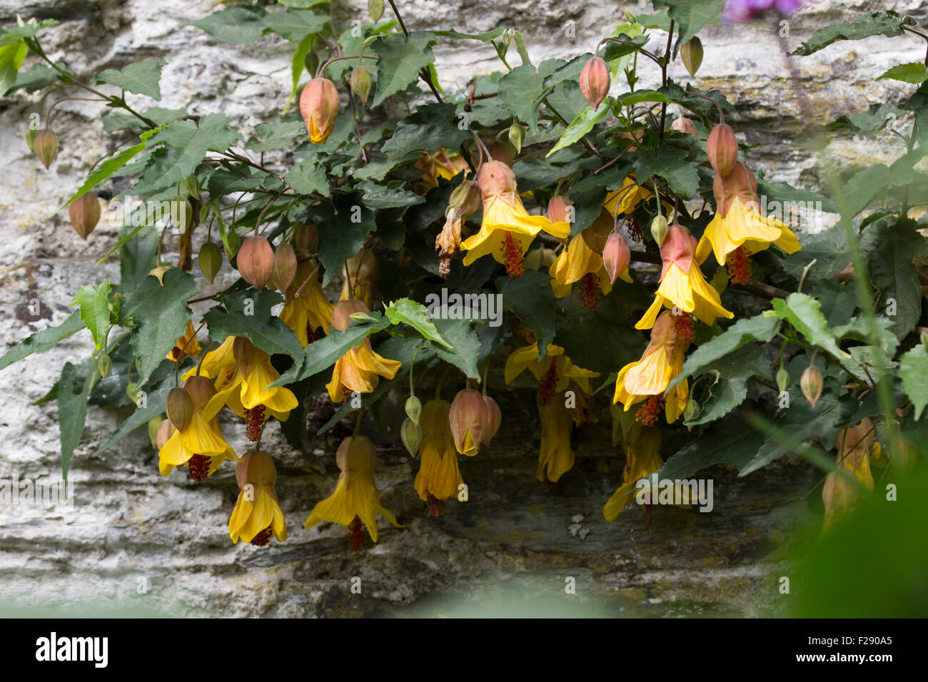 Grown as a wall shrub, Abutilon 'Victory' dangles bell shaped yellow flowers through the warmer months - Stock Image