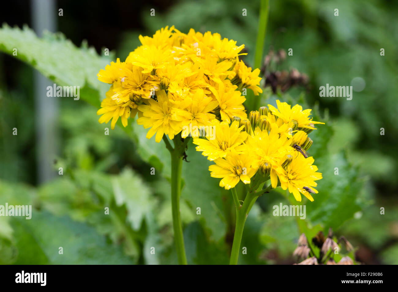 Dandelion Like Stock Photos Dandelion Like Stock Images Alamy