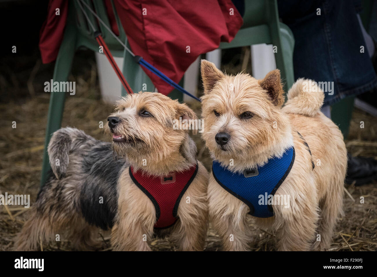 Buddy and Lucy, Norwich Terriers at the Essex Country Show, Barleylands, Essex. - Stock Image